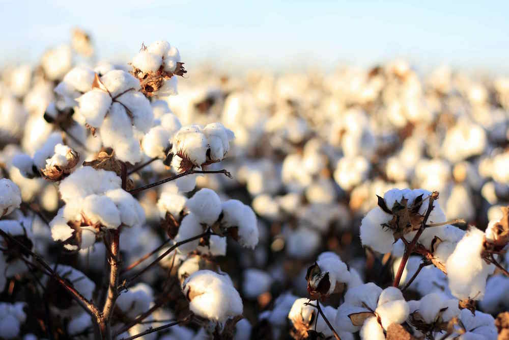 cotton fields - fabrics that can produce body odor - photo by ecofriendlycotton.com